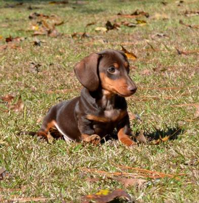 Dachshunds For Sale Down Home Dachshunds 601 590 2039